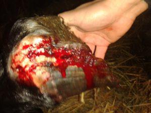 obrazek ukazuje ranę kopyta, z widocznymi zaciekami krwi