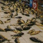 Zdjęcie ukazjue karpie rozrzucone na podłodze jednego z marketów