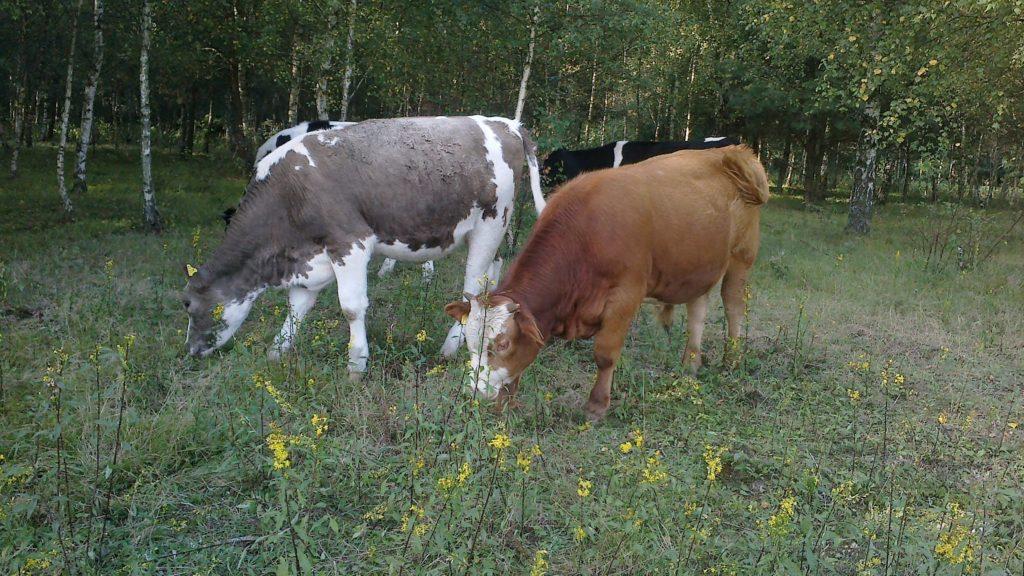 dwie krowy pasące się przy lesie