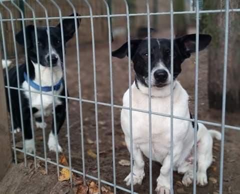 Dwa małe czarno-białe psiaki za kratami boksu schroniskowego